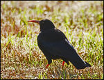 Title: Chough at sunrise.Canon EOS 1Ds MkII