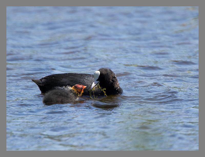 Coot and chick.