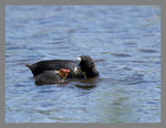 Title: Coot and chick.