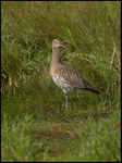 Title: Curlew.