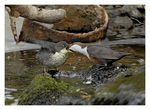 Title: Dipper feeding chick.