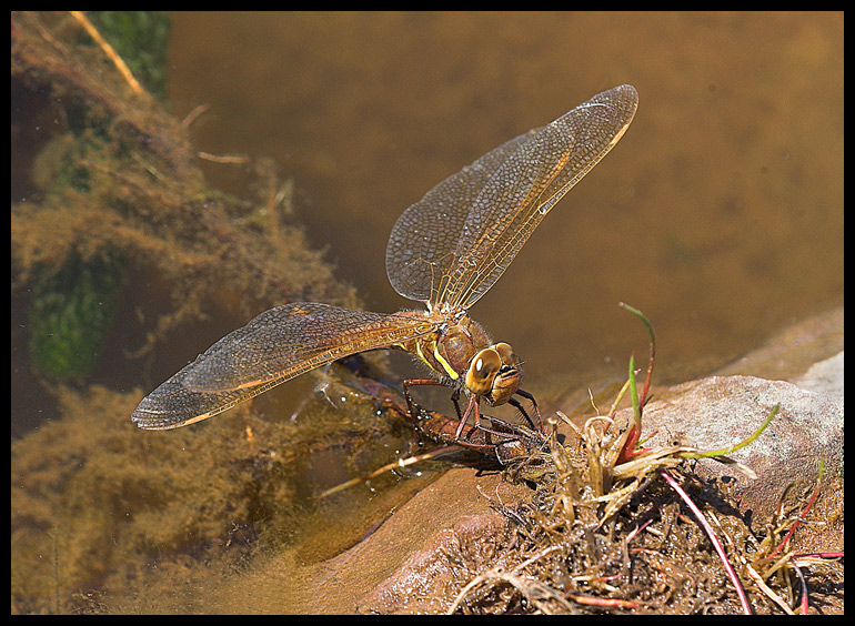 Dragonfly laying eggs.
