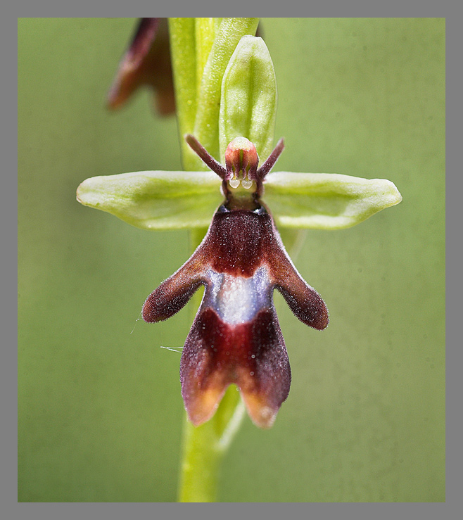 Fly Orchid.