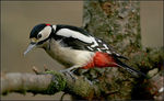 Title: Greater Spotted Woodpecker.