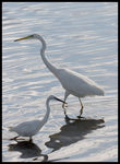 Title: Great and Little Egrets.