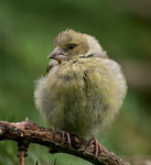 Title: Greenfinch Chick