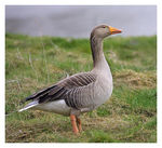 Title: Greylag on guard.