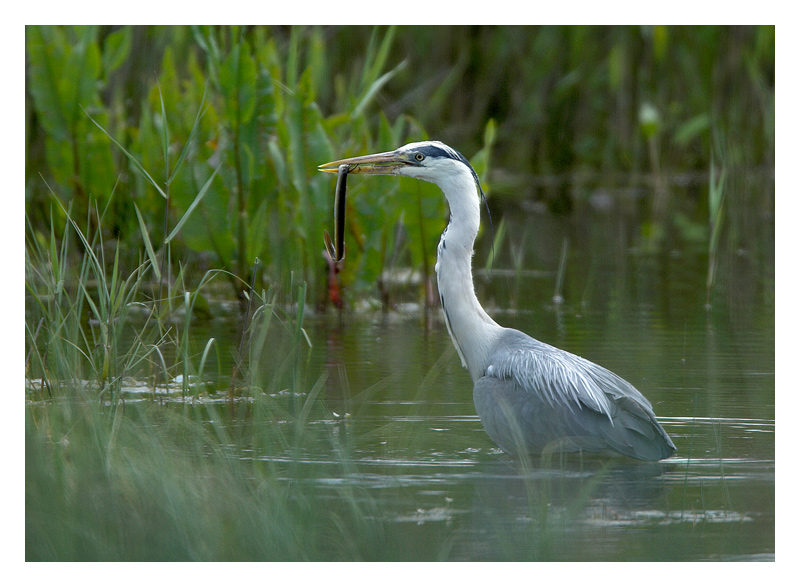 Grey Heron with Eel.