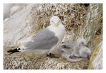 Title: Kittiwake and chicks.Canon EOS 1Ds MkII