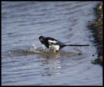 Title: Magpie bathing.