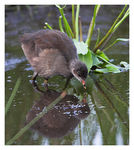 Title: Moorhen chick.Canon EOS 1Ds MkII