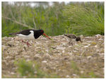Title: Oyster Catcher with chick.