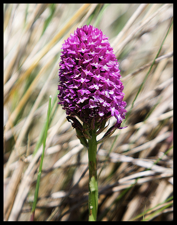 Pyramid Orchid.(2)