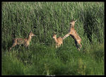 Title: Red Deer Calves