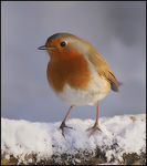 Title: Robin on snow. Camera: Canon EOS 1Ds MkII