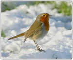 Title: Robin on snow.
