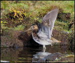Title: Snipe stretching.Canon EOS 1Ds MkII
