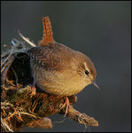 Title: Wren - Time for bed.Canon EOS 1Ds MkII