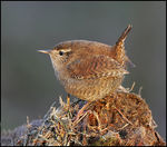 Title: Wren in evening light. Camera: Canon EOS 1Ds MkII