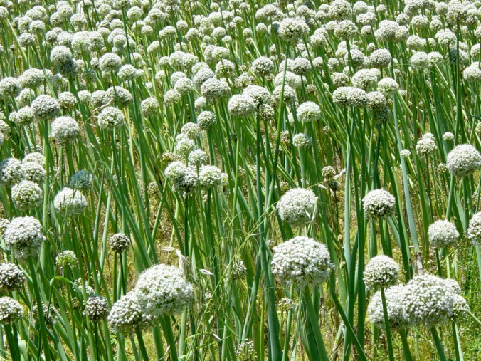 Wild Onions in Himalayas