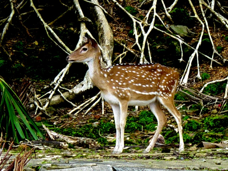 Spotted Deer at Ross Island