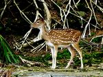 Title: Spotted Deer at Ross Island