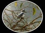 Title: Crested Kingfisher