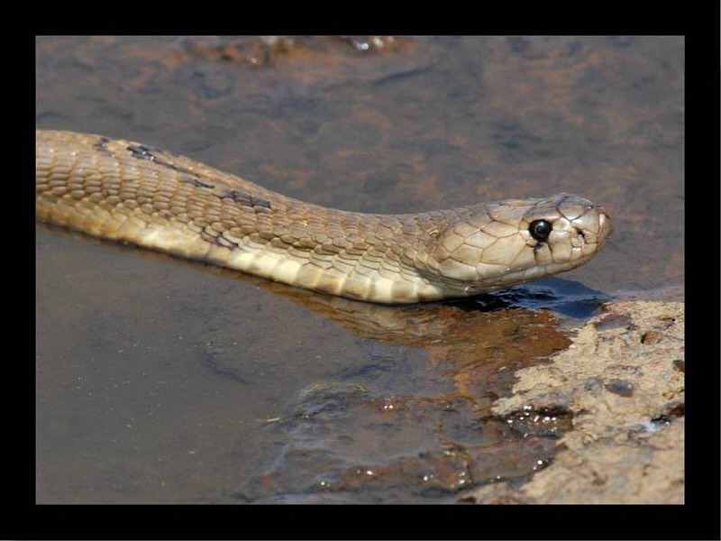 Indian Cobra: Naja naja