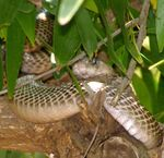 Title: Cobras in Tree Hide