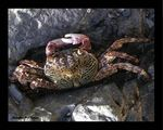 Title: Crab from Andaman