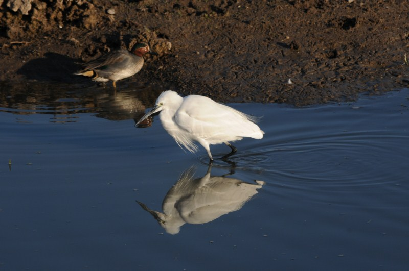 Egret at Dwarka