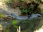 Title: Gharials of India