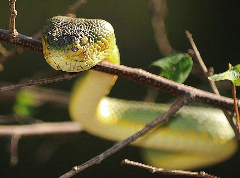 Indian Green Pit Viper
