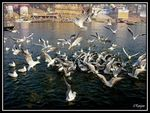 Title: Black-headed Gulls at Varanasi