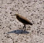 Title: Indian Pond Heron
