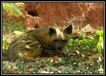 Title: Striped Hyena (Hyaena hyaena)