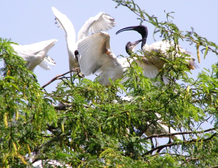 Ibis Chick  with Mama