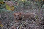 Title: Lion @ Gir Forest
