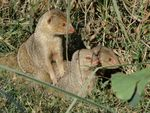 Title: Mongoose family in Lucknow