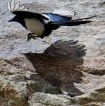 Title: The Eurasian Magpie