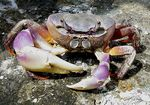Title: Purple Shore Crab