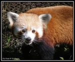 Title: Red Panda: for Asbed