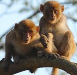 Title: Rhesus Twins: for Asbed