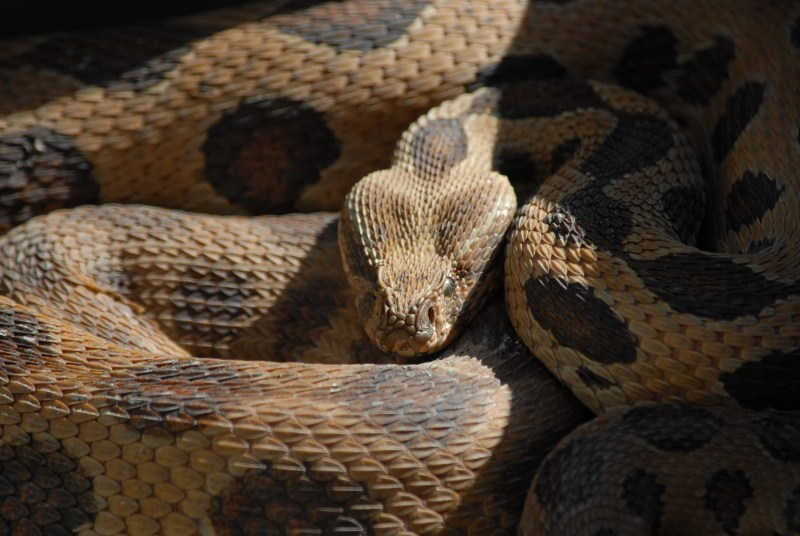 Indian Russell's Viper