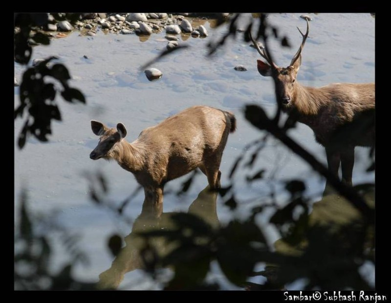Sambar Deer at Corbett