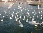 Title: Seagulls at Varanasi