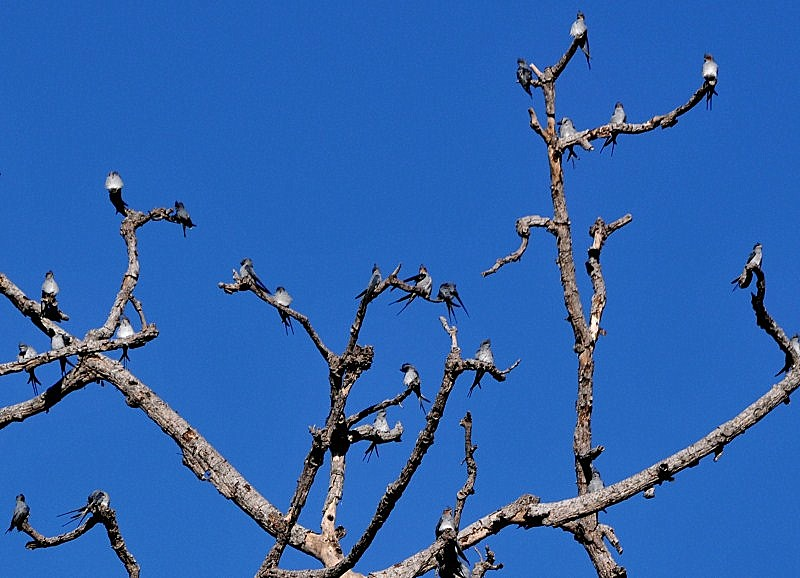 Close Up of Crested Treeswift