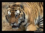 Title: My Dream Animal; Siberian Tiger