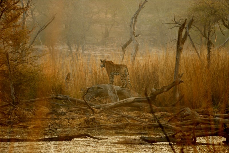 Ranthambore Beauty: T-17 Tigress
