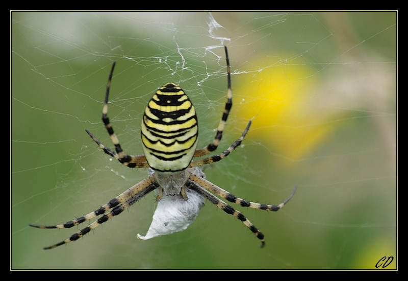 Wasp-like spider and global warming